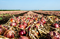 September Onion Harvest in the Mucklands