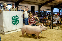 4H Auction, Genesee County Fair 2013